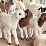 Koyun ve Kuzu Sesi mp3 zil sesi indir